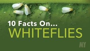 10 Facts On... Whiteflies