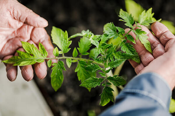 studying the growth of shoots on a young tomato plant