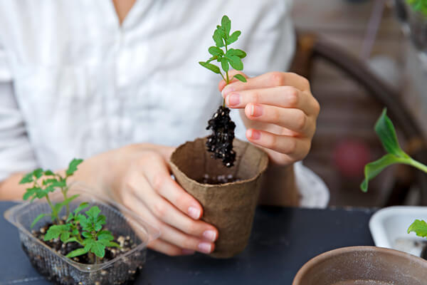 Tomato Seedling in the hand with visible root