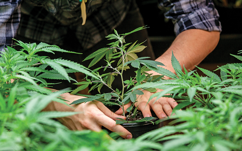 Grower tending to outdoor cannabis plants.