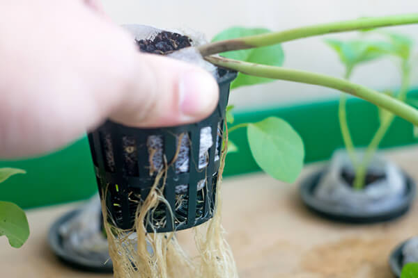 Holding a hydroponic basket with seedling and roots