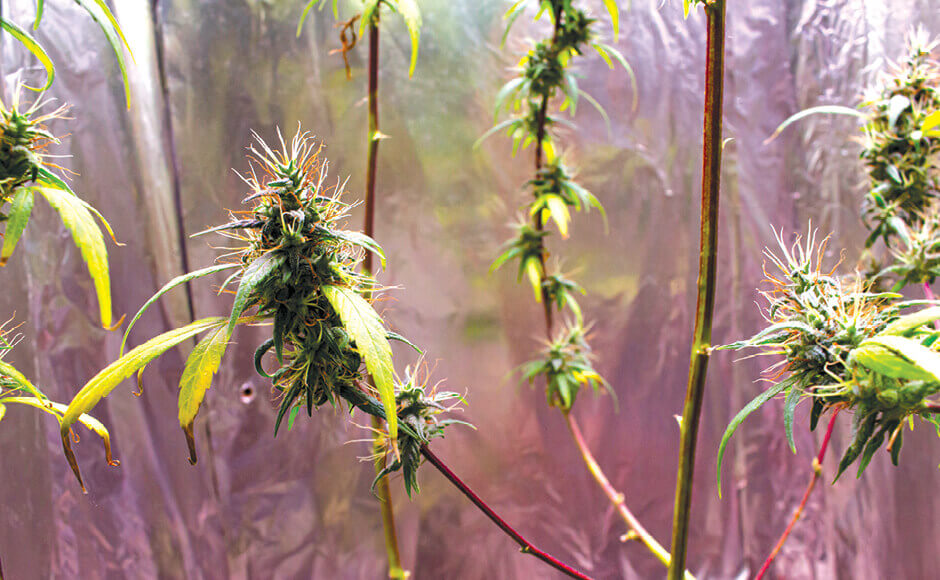 Cannabis with red stems