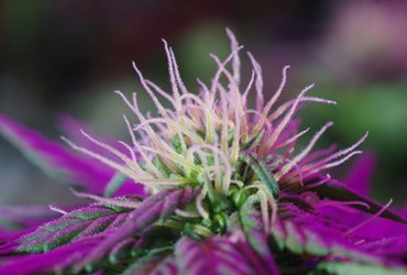 What is Indica-Dominant? - Definition from MaximumYield