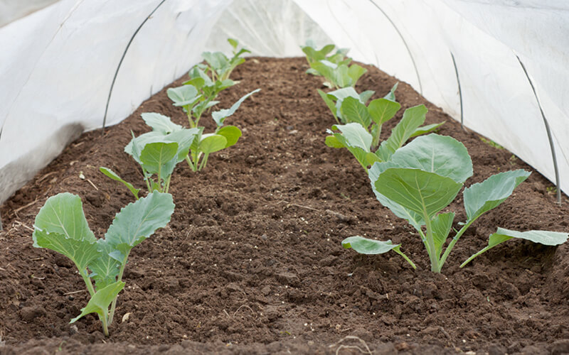 Cabbage seedlings growing under a row cover.
