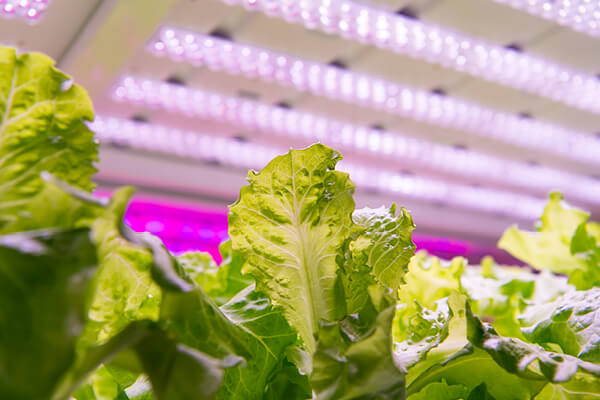 Another way to save energy in the growroom is by using high-powered LED lights