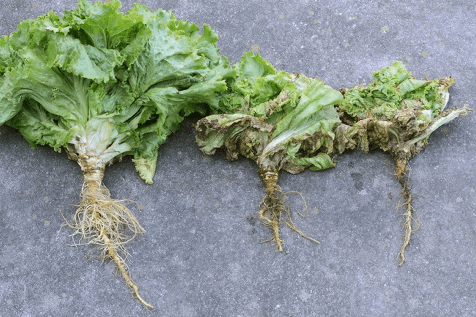 Lettuce with Pythium rot