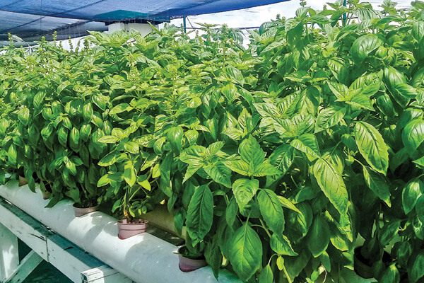 3 Types of High-Value Cash Crops to Grow Hydroponically