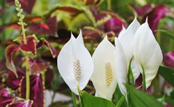 Growing Peace Lilies as Houseplants