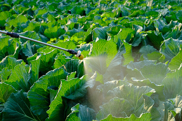 Spraying Insecticide on cabbage vegetable plant