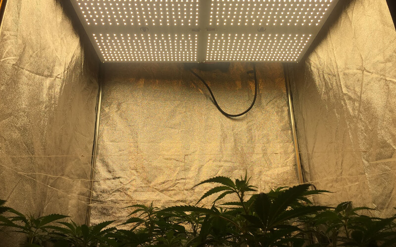 Cannabis plants in a grow tent under and LED light.