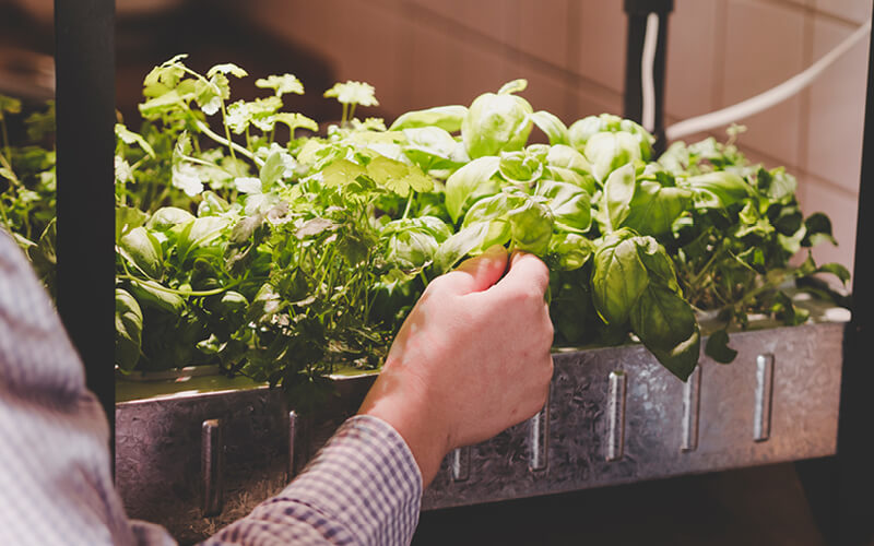 Basil and other herbs in an indoor garden