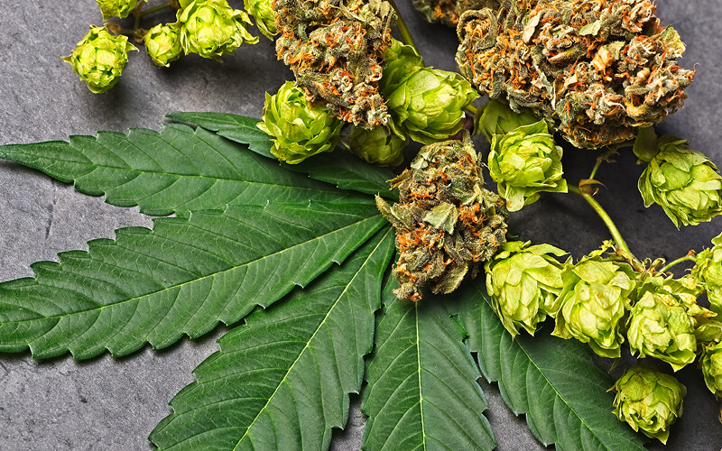 Cannabis flower and leaves on a table with hops.