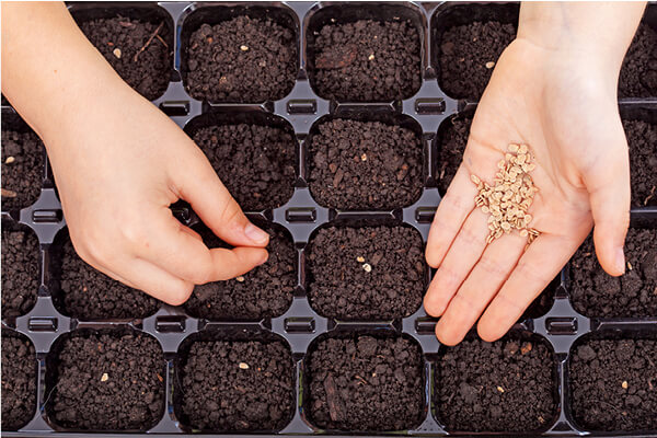 Spreading Seeds in Germination Tray