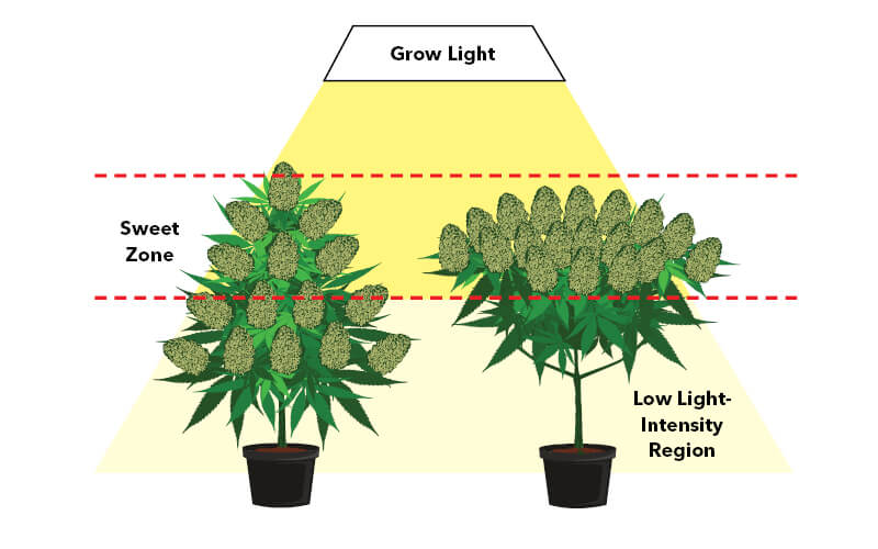 """Diagram showing topping and low-stress training are used to position more flowering sites in the """"sweet zone"""""""