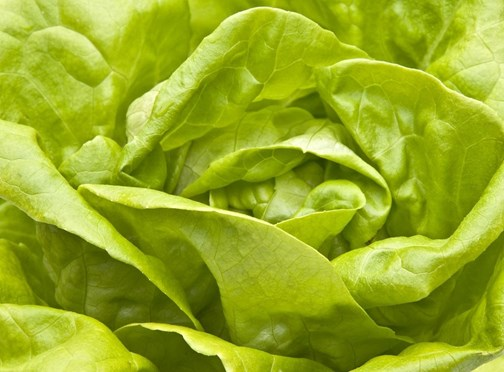 Winter Lettuce Production