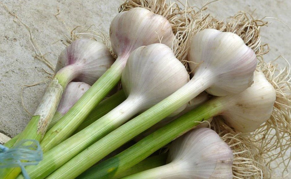 Tips for Growing Alliums in Your Next Hydroponic Garden
