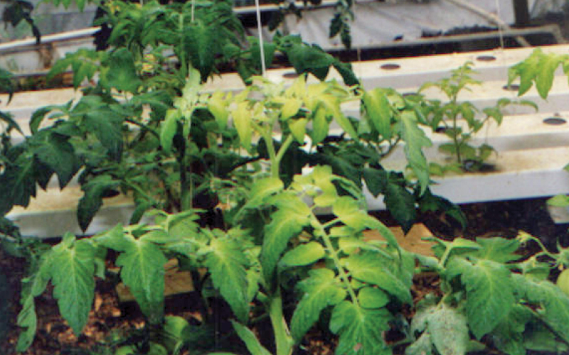 A tomato plant with yellowing leaves.