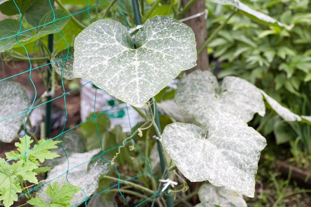 Cucumber plant infected with powdery mildew