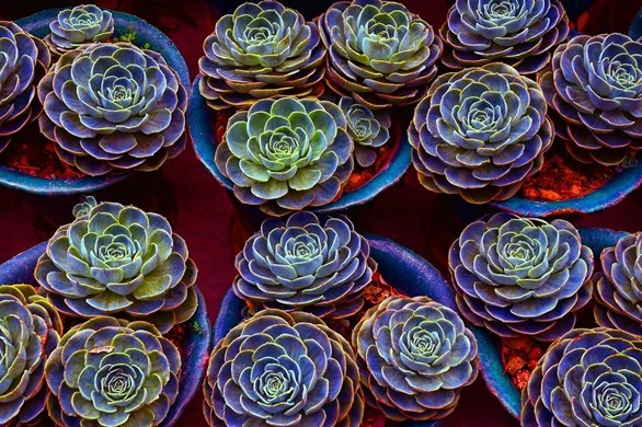 How to Grow and Take Cuttings from Succulents