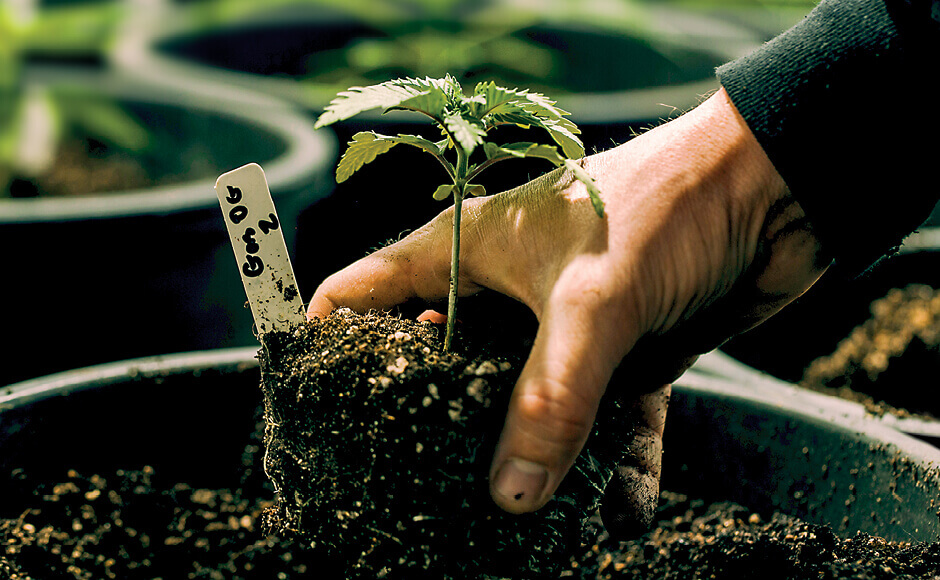 young cannabis plant in soil