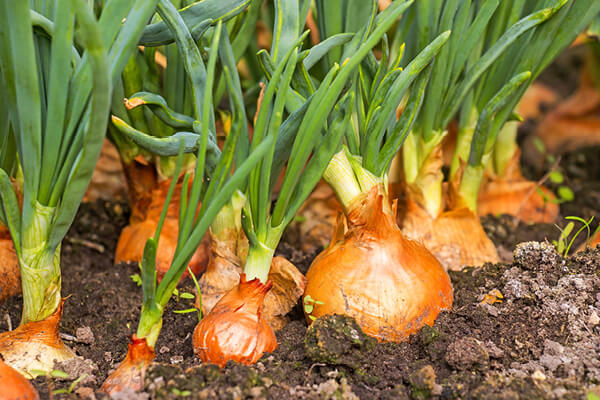 Onions in garden - Copper gives them their golden brown skins