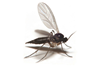 Fungus Gnats: the Cause, the Problem and the Answer