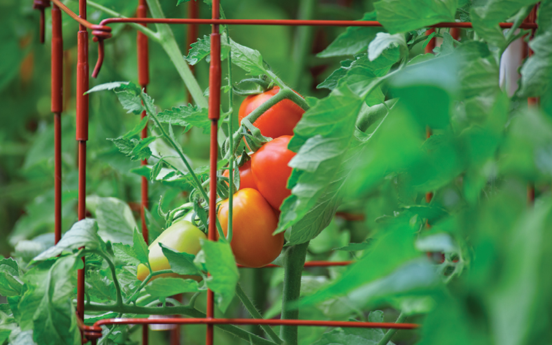 Tomatoes growing inside a cage for support.