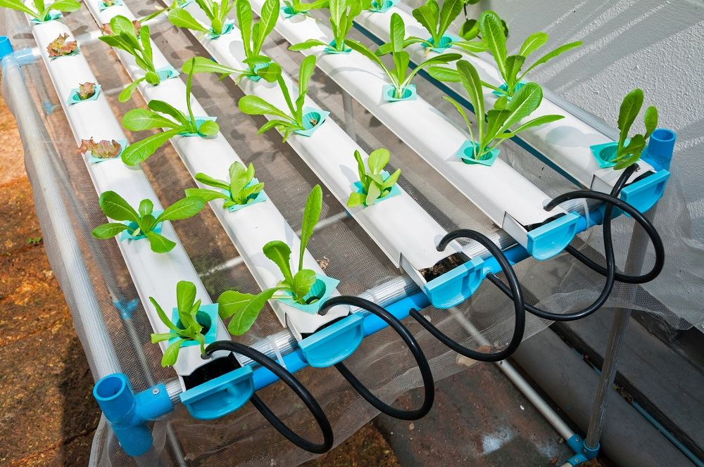Lettuce growing in a nutrient film technique or NFT hydroponic system.
