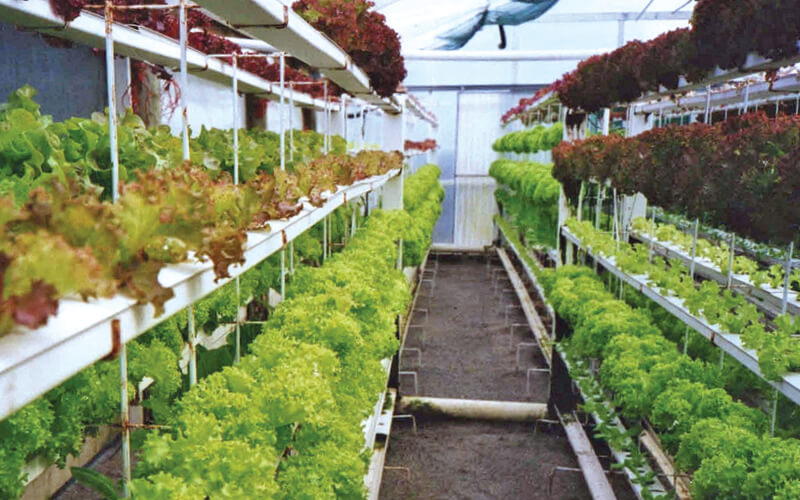 Red varieties of lettuce at the top of a tiered NFT system.