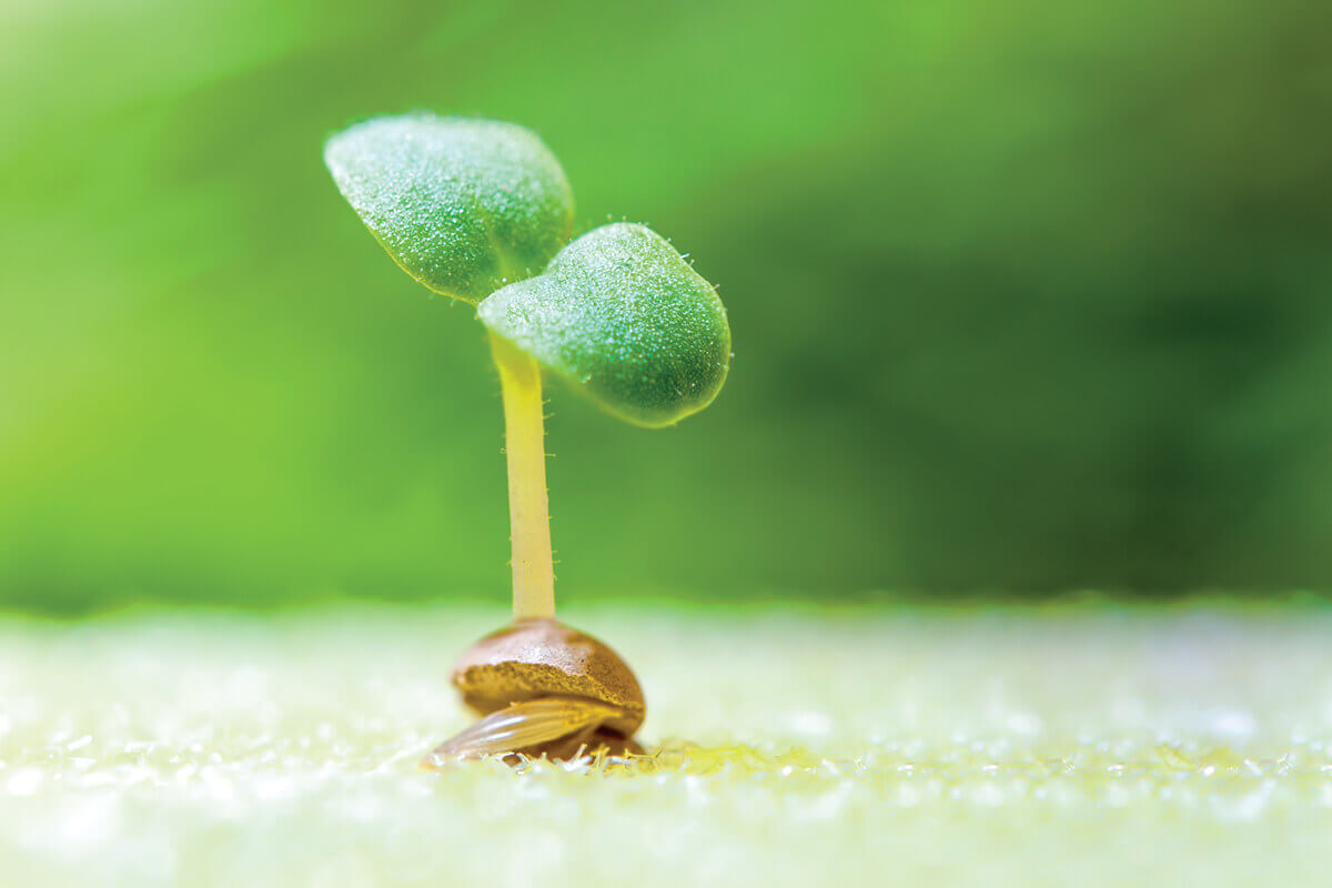 Germinated plant seed