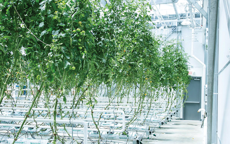 Tomato plants growing at Vertical Harvest Farms