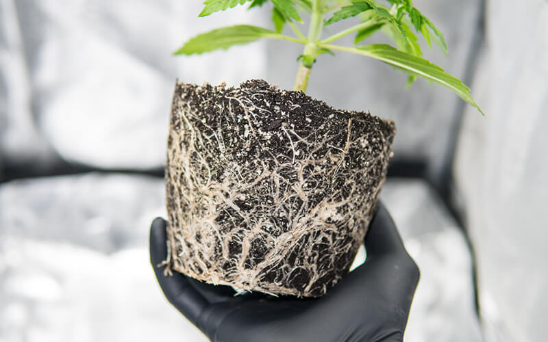 Visible roots of plant outside of its pot - time to repot in larger container