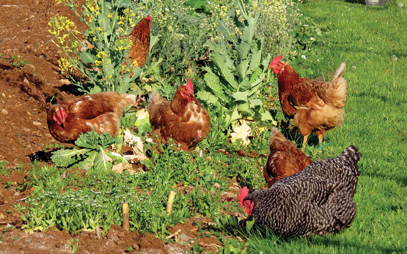 chickens foraging in a garden bed