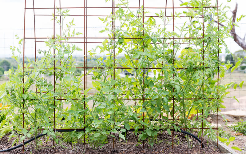 Mixed varieties of small tomatoes growing on mesh trellis in a home garden