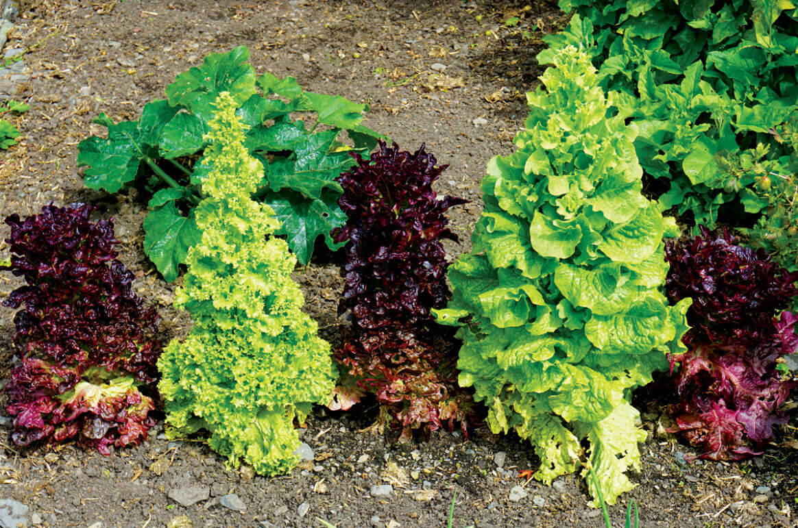 Bolted lettuce