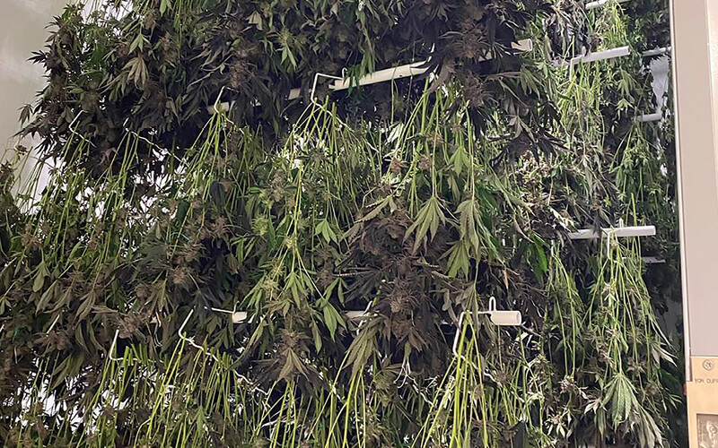 cannabis drying in a commercial drying room