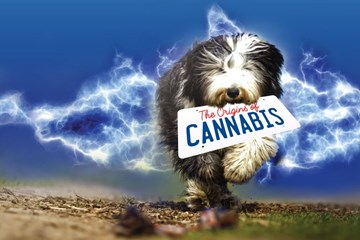 Back to the Future: The Origins of Cannabis