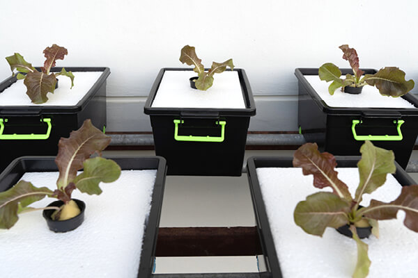 Hydroponic DWC (Deep water culture) system