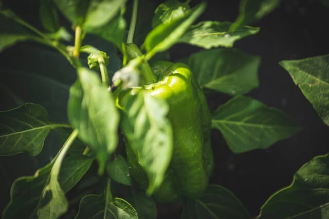 Photo of a pepper plant with green bell peppers
