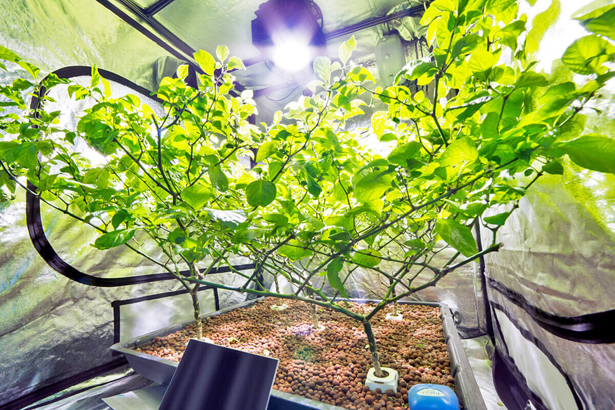 Hydroponic plant growing inside a grow tent