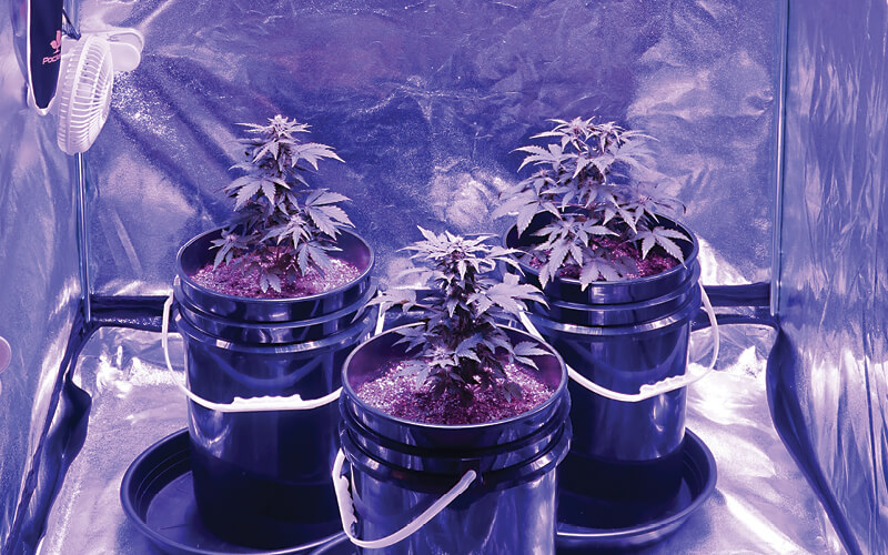 Three young cannabis plants growing in buckets inside a grow tent.
