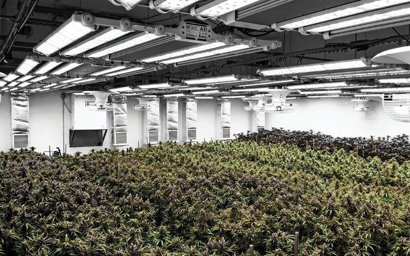 Cannabis growing under Fohse LED lighting in a commercial facility