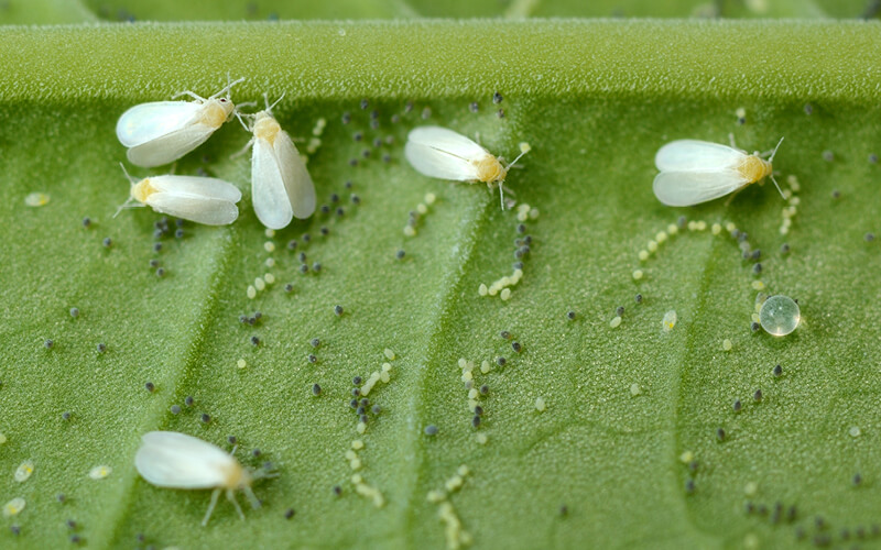 Whiteflies and eggs on a leaf
