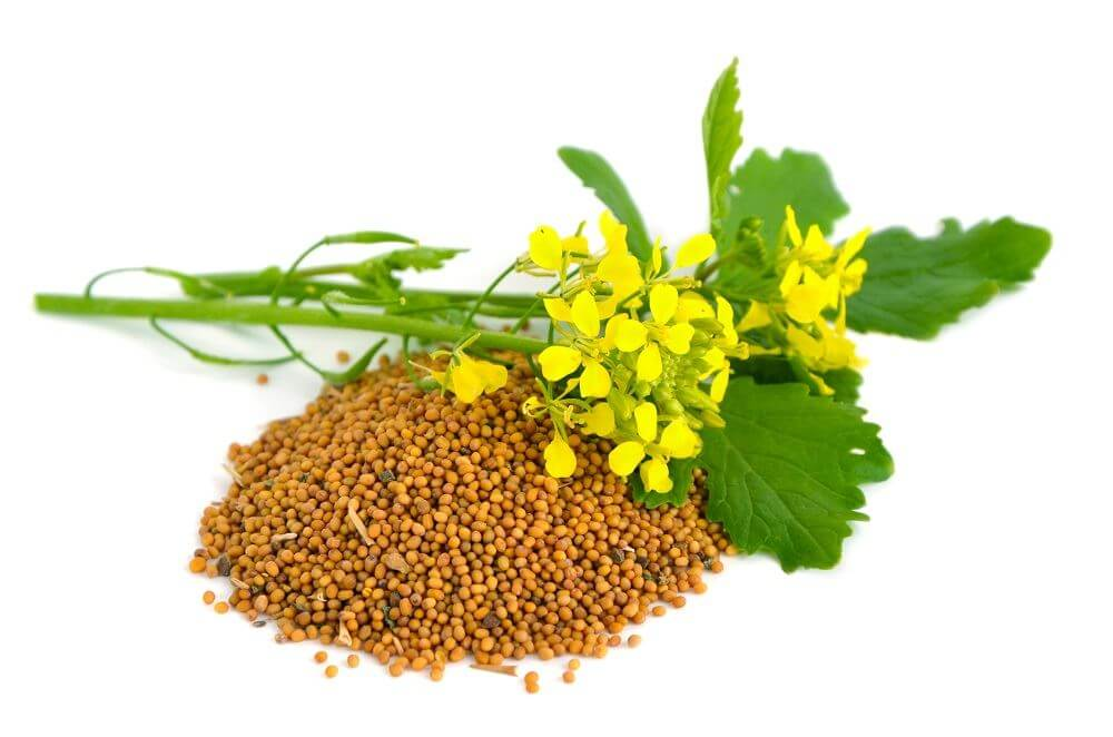 How to Grow Mustard Seeds