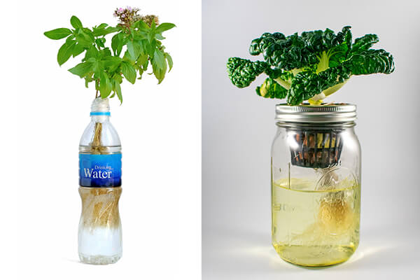 Hydroponic plant growing in a water bottle and mason jar showing roots and basket using the Kratky method