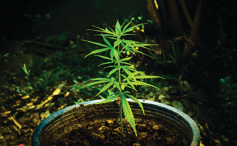 Outdoor potted cannabis plant