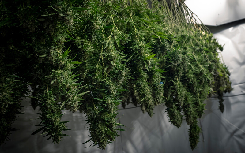 Cannabis hanging to dry in a drying room.