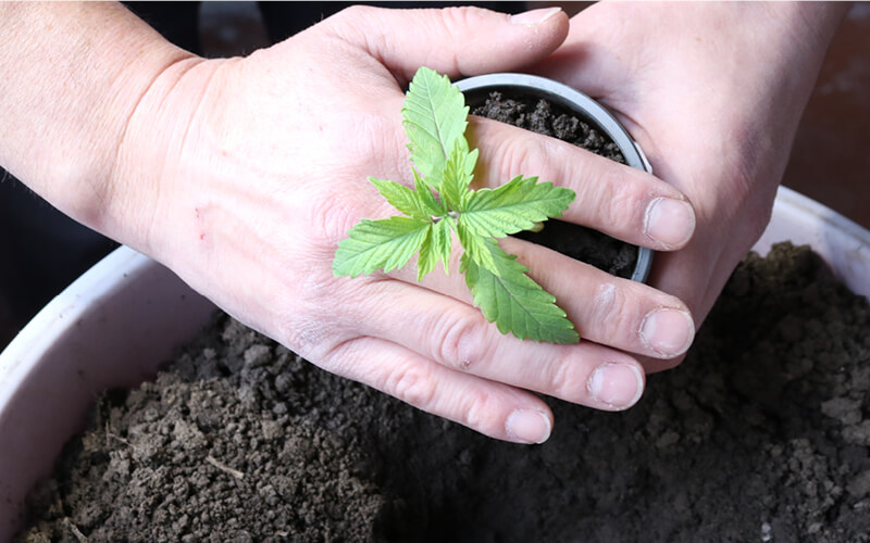 Grower transplanting young cannabis plant