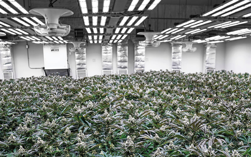 Flowering cannabis plants under Fohse LED grow lighting