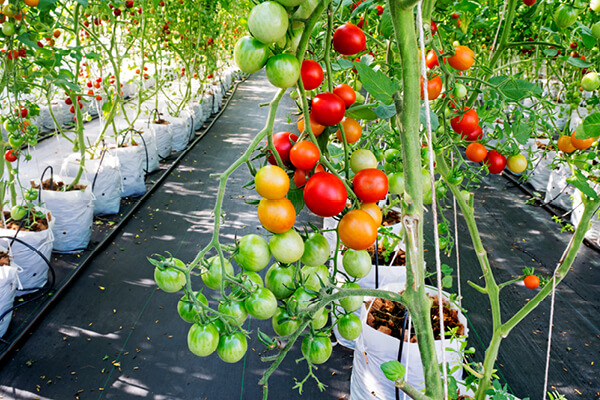 Ripe and young organic hydroponic tomatoes and tomato plants growing in a modern greenhouse